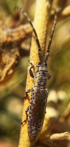 Dorcasta cinerea on dried silverleaf nightshade leaf - Dorcasta cinerea