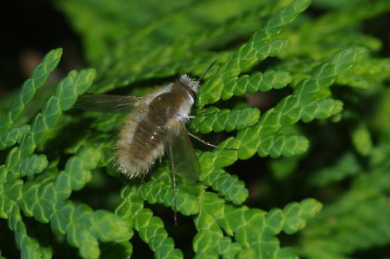 Beefly - Anastoechus barbatus
