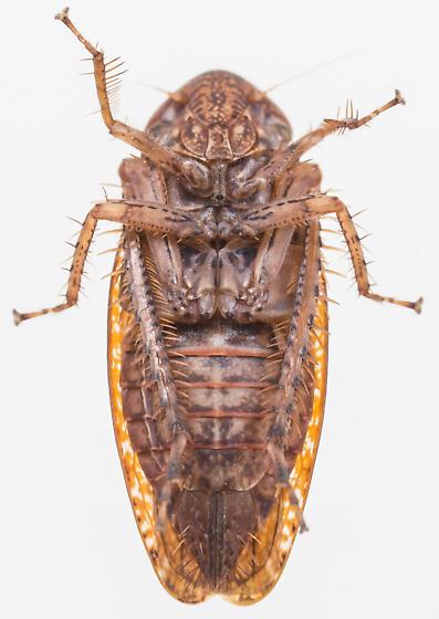 Leafhopper - Texananus - female