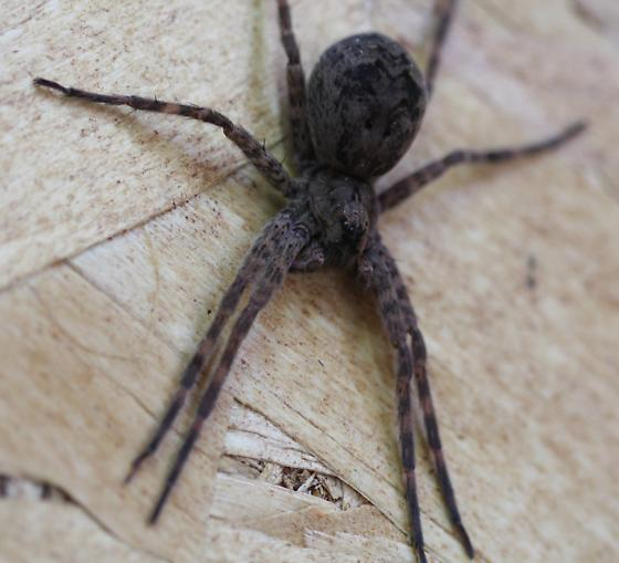 Nice big spider, but what type - Dolomedes - female