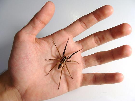 Rabid Wolf Spider - Rabidosa rabida - male