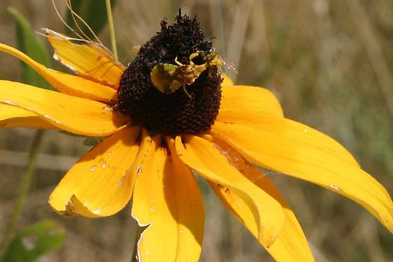 Probable jagged ambush bug consuming bee - Phymata americana