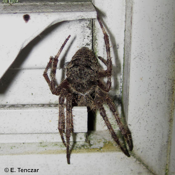 Araneus saevus? - Araneus