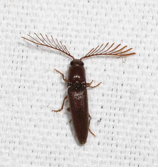 Pectinate Click Beetle - Dicrepidius palmatus - male