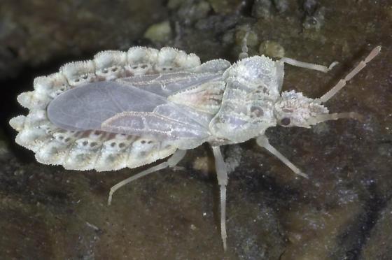 dsc2156 lacey bug - Aradus