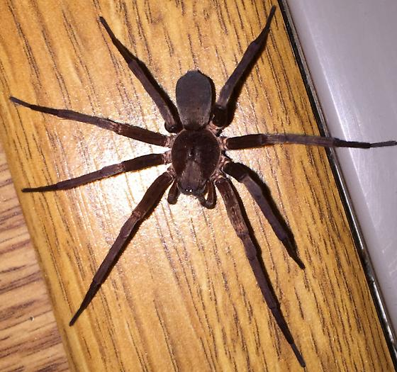 It is found in south California - Titiotus