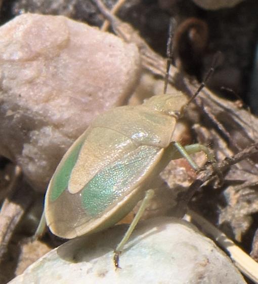 Green and yellow stink bug - Chlorochroa viridicata