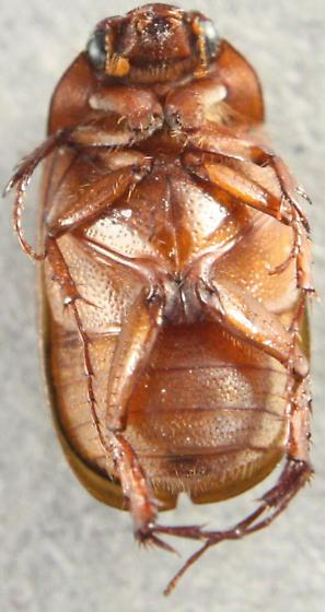 Maladera castaena - Serica