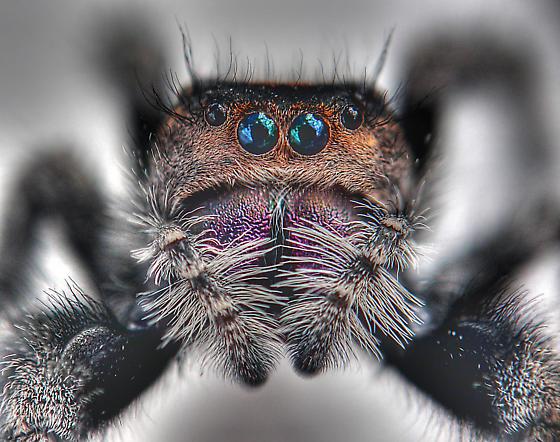 spider - Phidippus regius