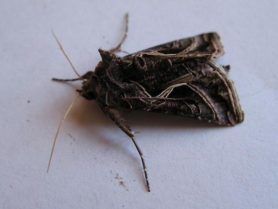 Silver  Whip Moth  [   Autographa  flagellum ] - Autographa flagellum