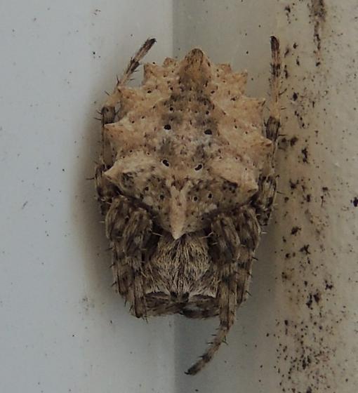 Spider sp? - Acanthepeira