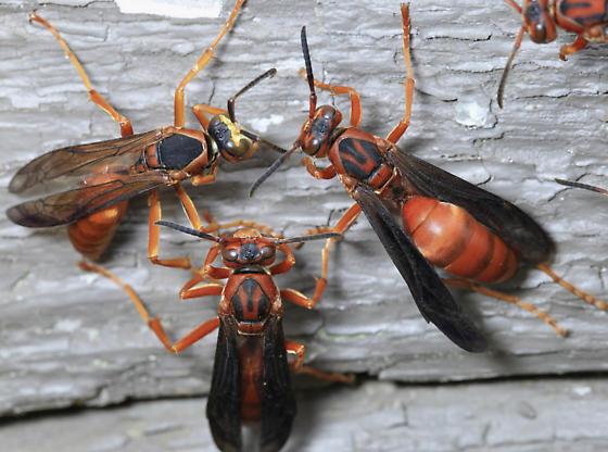 Central Arkansas wasps - Polistes rubiginosus