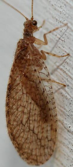 brown lacewing - Micromus posticus