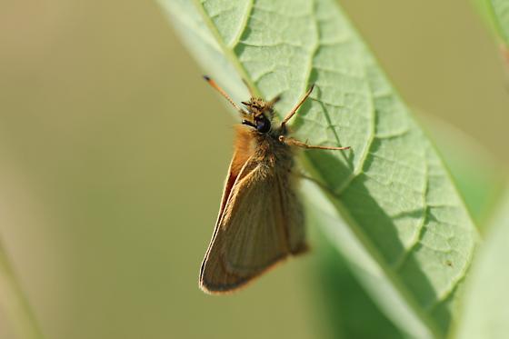 Seeking skipper identification - Thymelicus lineola