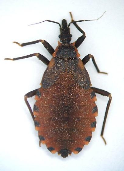 Reduvid nymph - Triatoma sanguisuga