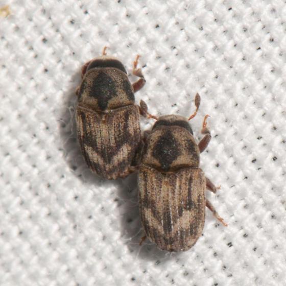 Weevil? - Hylesinus aculeatus