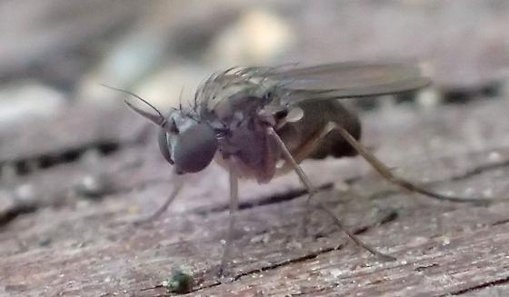 Small & Fast Samurai Fly - sword antennae, long arista, green eyes, brown femorae; gray  - Peloropeodes cornutus - male