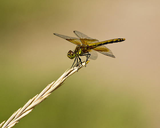 Western Band-Winged Meadowhawk - Sympetrum semicinctum