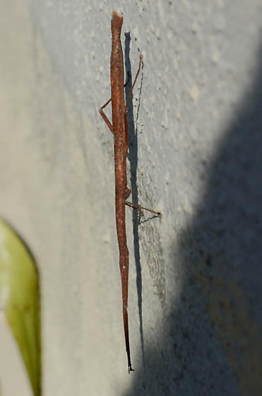 Indian stick insect? - Carausius morosus