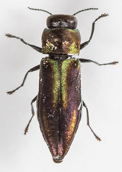 Anthaxia quercata - female