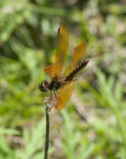 Male Amberwing - Perithemis tenera - male