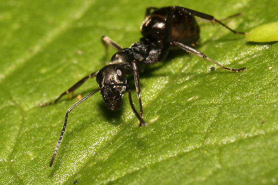 ant with alien face - Formica subsericea