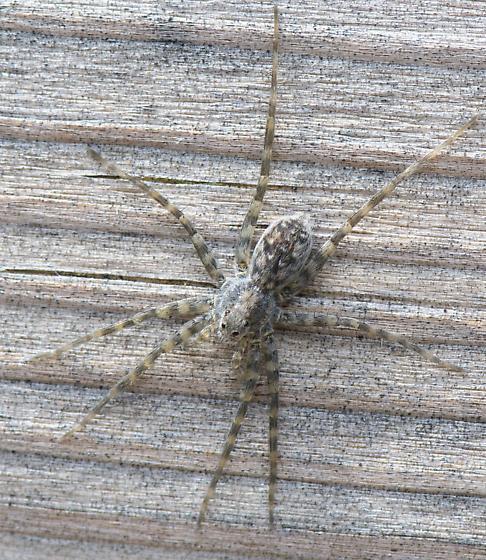 Dark Fishing Spider Or Thin Legged Wolf Spider Pardosa Bugguide Net