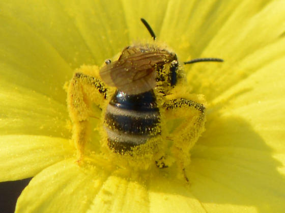 bee on tarweed - Lasioglossum titusi
