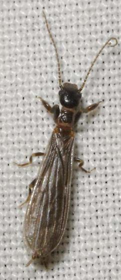Embiidina sp. - Oligotoma saundersii - male
