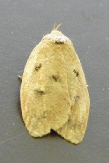 Gold-striped Leaftier - Hodges #0951 - Machimia tentoriferella