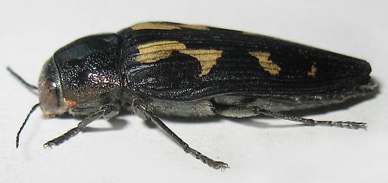 Metallic Wood-boring Beetle - Buprestis laeviventris