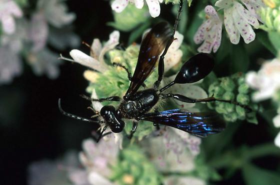 Isodontia wasp - Isodontia