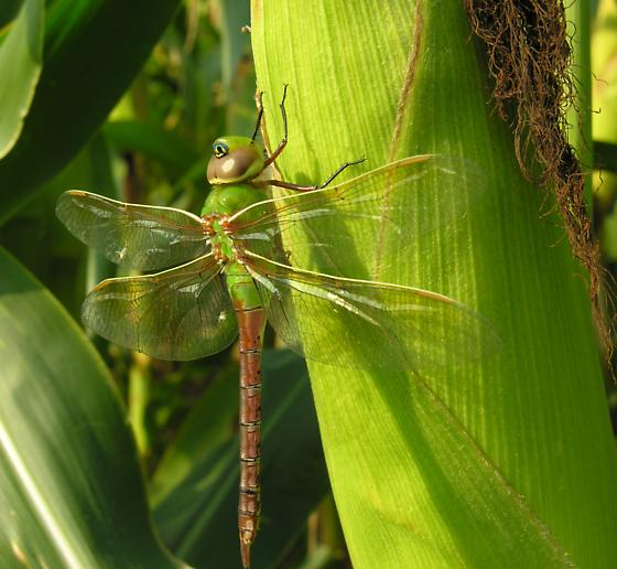 Dragonfly warming up in the morning sun - Anax junius