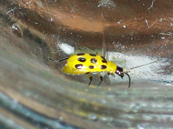 Cucumber Beetle Diobrotica and Acalymma? - Diabrotica undecimpunctata
