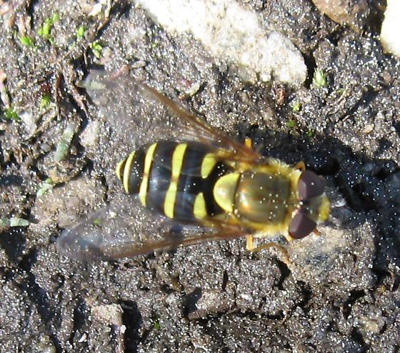 Syrphidae 7-06-11 02a - Syrphus opinator
