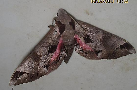 adds Oregon for Sept - Eumorpha achemon - female