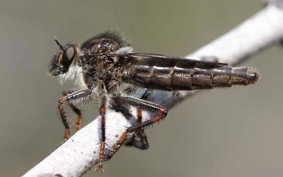 Stenopogon cazieri - female