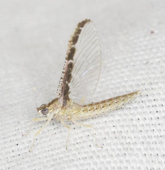 Mayfly - Callibaetis skokianus