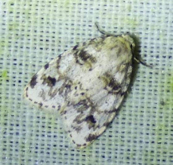 Clemensia albata – Little White Lichen Moth  - Clemensia ochreata