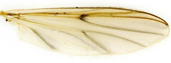 Chironomus? - female