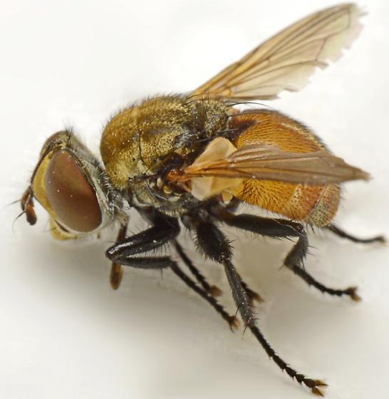 Fly - Gymnoclytia unicolor