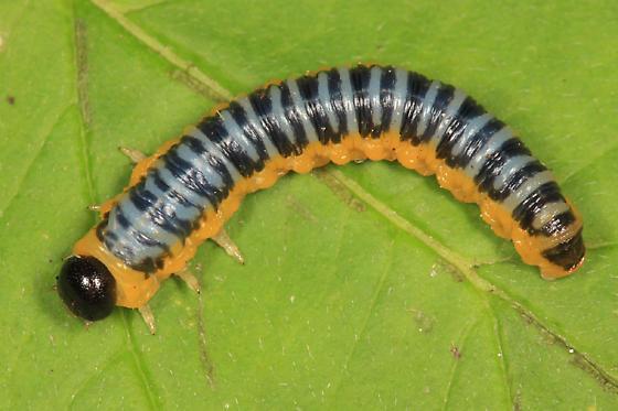 sawfly larva - Macremphytus tarsatus