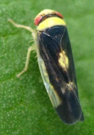 Black Leaf hopper with Yellow Spot - Colladonus montanus