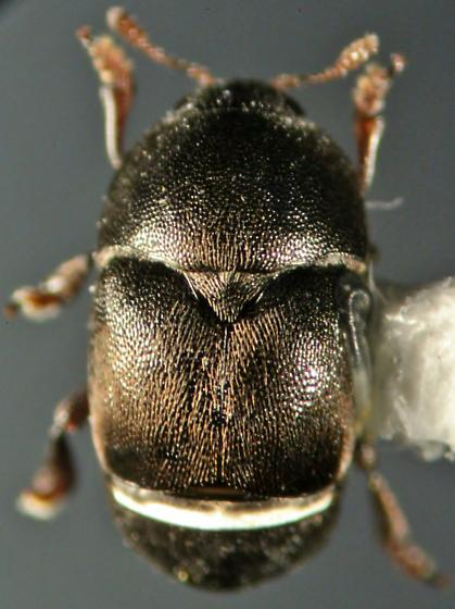 Kateretidae - Brachypterolus pulicarius