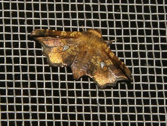 Dysodia oculatana? - Dysodia oculatana