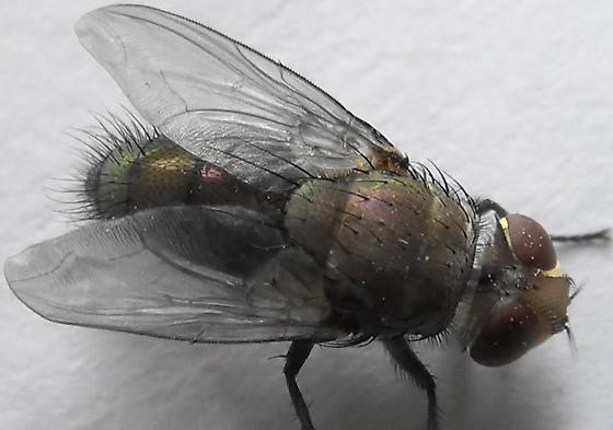 Sexing Flies in the Genus Lucilia (dorsal dim) - Lucilia - male