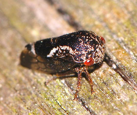 Treehopper Cyrtolobus? or Ophiderma? - Ophiderma salamandra