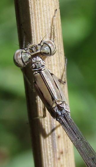 Attenuated Bluet - Enallagma daeckii - male