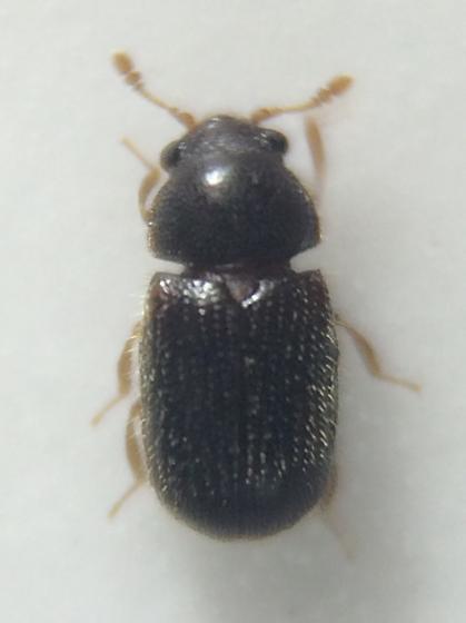 Beetle - Sphindus