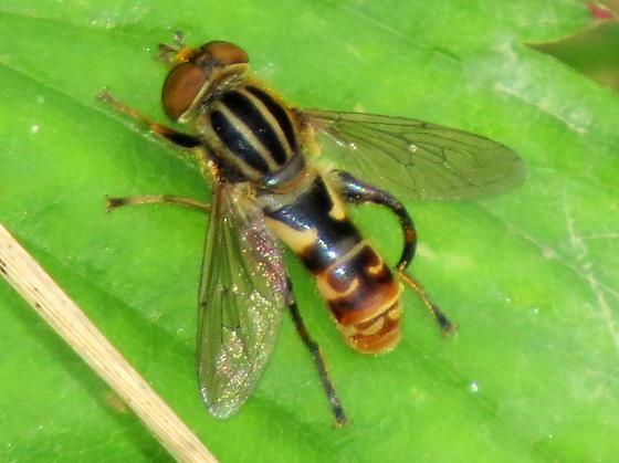 Lejops (Anasimyia)  - Lejops - male
